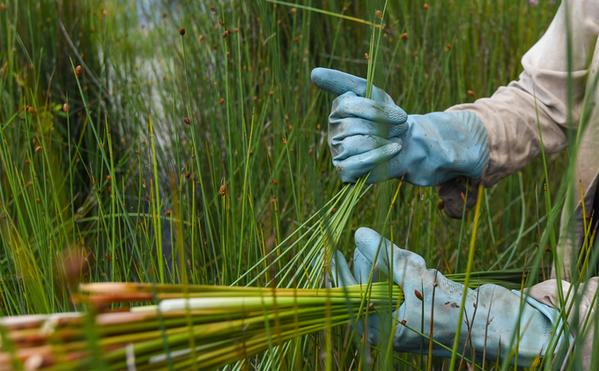 Lepironia-Articulata-grass-straws