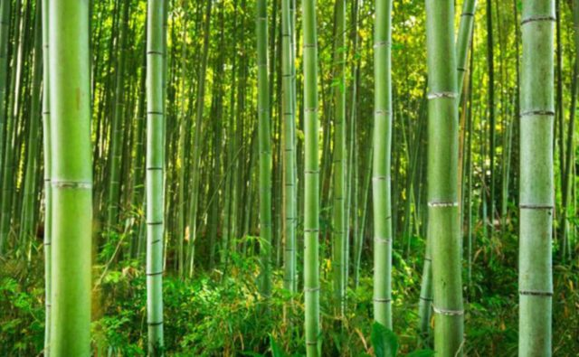 the trunks of bamboo trees